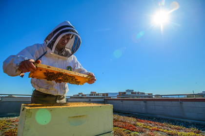 Bee keeper in protective suite inspecting a tray of bees outside on a clear blue sunny day